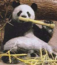 Giant panda eating bamboo, loosely resembling David Healy's flute gesture to Celtic fans which caused the Northern Ireland international to apologise